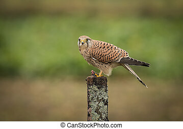 Kestrel - A female kestrel perched on top of a post in a...