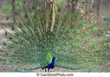 Peacock dancing - Indian Peacock dancing in the jungle