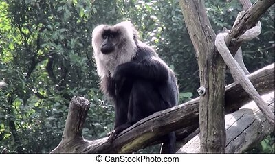 Lion-tailed Macaque (Macaca silenus) - Lion-tailed Macaque...