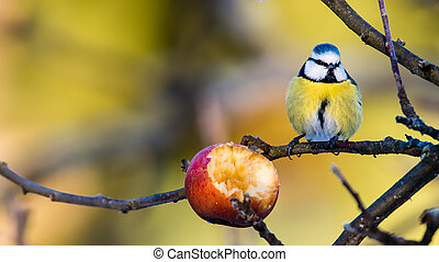 Tempting - The beautiful Blue Tit (Parus caeruleus) seems...