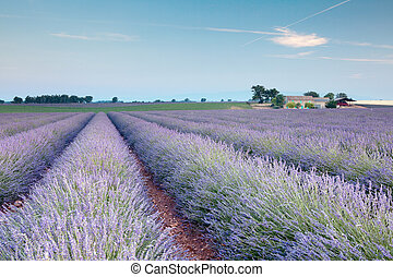 Rows of french lavender - Rows of scented flowers in the...