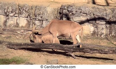 North African Barbary Sheep (Oftedal). (Ammotragus lervia) -...
