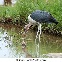 Marabou stork; Leptoptilos crumeniferus in a river in South...