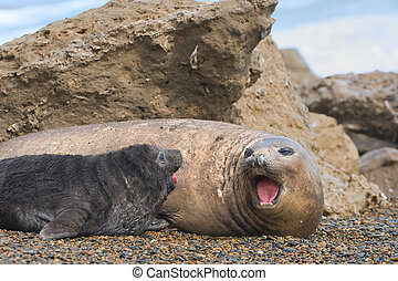 Mother and baby elephant seals - Mother and baby elephant...