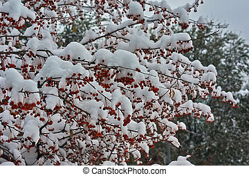 Small fruits of wild apple trees covered with the snow. -...