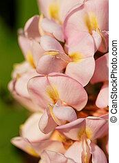 Wistaria - Beautiful close up photo of a wistaria