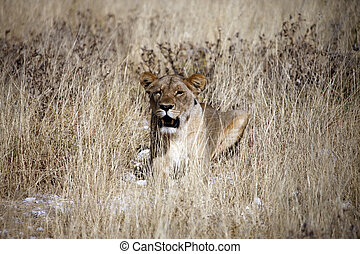 Lioness - A young lioness