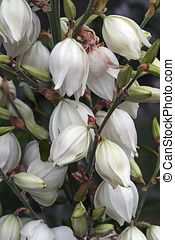 Common yucca flowers - Common yucca (Yucca filamentosa)....