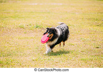 Tricolor Scottish English Rough Long-Haired Collie Lassie...
