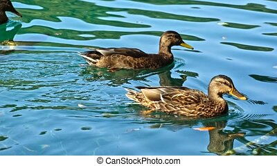 Ducks on the Plitvice Lakes in Croatia.