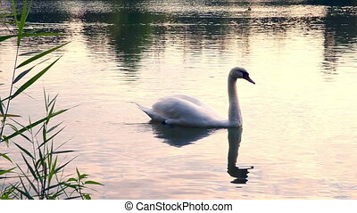 Swan floating in the lake at sunset