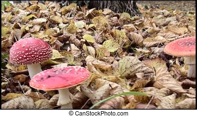 View on Fly Agaric. (Amanita muscaria)