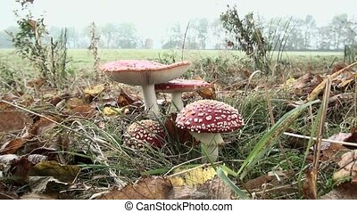 Zoom In on Fly Agaric beautiful mushrooms. (Amanita...