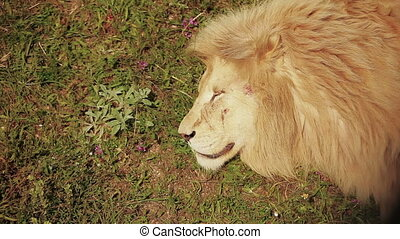 Lion sleeping on grass, face with scars