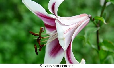Beautiful lily varietal white and pink colors - A Beautiful...