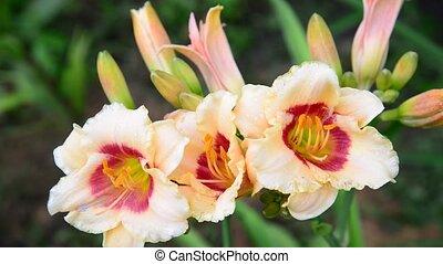 Beautiful bright yellow varietal daylily - A Beautiful...
