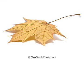 Fallen maple leaf, isolated on white