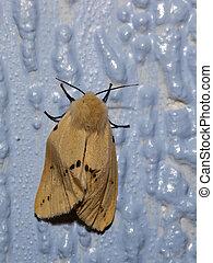 muslin moth - a muslin moth diaphora mendica on a blue...
