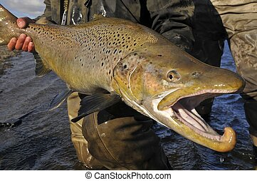 Large brown trout - Large sear-run brown trout caught while...