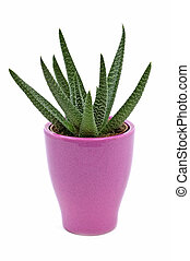 Cactus - Small Zebra Plant cactus grown indoors in pink pot...