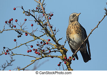 Fieldfare, Turdus pilaris, single bird on hawthorn bush with...
