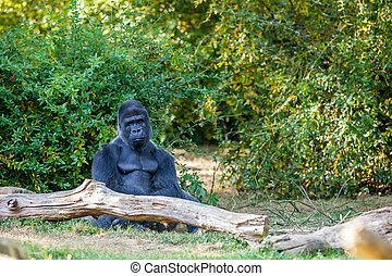 The silverback gorilla - silverback gorilla sits and watches...