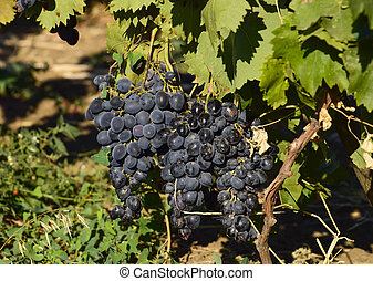 The grape gardens. Cultivation of wine grapes at the Sea of...