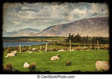 grunge sheep on a farm field in rural ireland