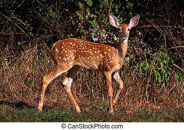 White-tailed Deer Fawn - White-tailed Deer (Odocoileus...