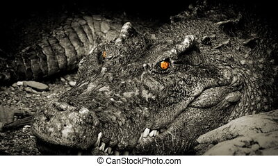 Crocodile With Glowing Eyes Opens Mouth - Large crocodile...