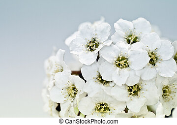 Tiny white flowers - These flowers are really tiny. Macro is...
