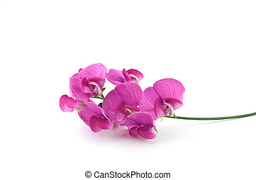 Wild sweetpea - Vivid magenta blossoms of the wild sweetpea...