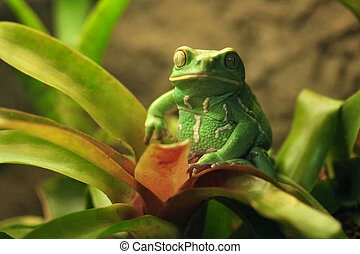 Beautiful Waxy Monkey Frog Sitting on a Plant - Green Waxy...