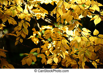 Autumn leaves Sweet birch - The bright yellow autumn leaves...