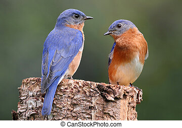 Pair of Eastern Bluebird (Sialia sialis) on a log with...