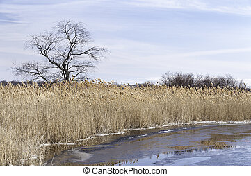 Phragmites on frozen river - Thick wall of phragmites lining...