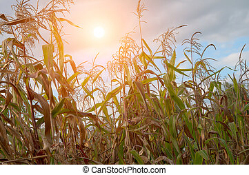field with corn - agricultural field with corn. A close up