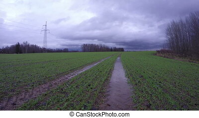 Field with young wheat and tractor tracks after autumn rain,...