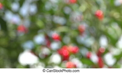 Summer cherry tree branch with red berries, 4 K - Summer...