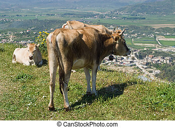 Albanian cows - Cows grazing on a meadow in Albania.