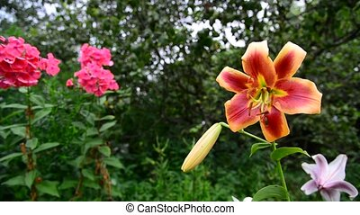 Beautiful lilies and phlox in garden - A Beautiful lilies...