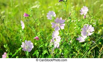 Meadow Mauve pink sways in breeze - Meadow Mauve pink sways...