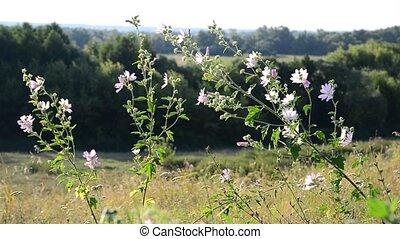 Meadow Mauve pink sways in breeze in field - Meadow Mauve...