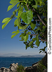 Fig tree - Seascape withe a fig tree in front and distant...