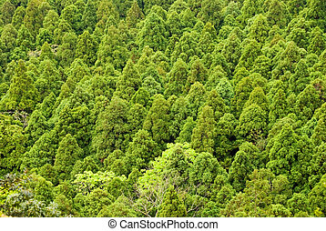Pine trees in spring forest