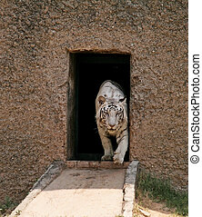 White Tiger coming out