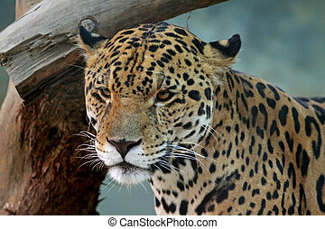 Jaguar Face - A Jaguar portrait shot.