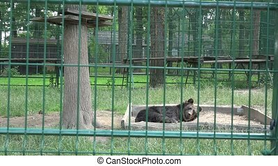 Pair of brown bear in zoo captivity cage. Poor animals on...