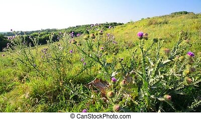 Thickets of prickly Thistle in wild nature - Thickets of...