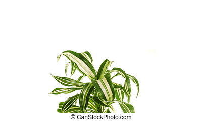 Rotating plant dracaena isolated on white background. -...